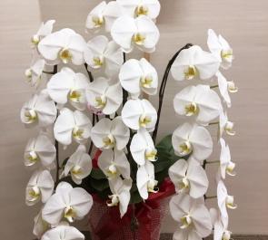 渋谷 (株)インストアラボ様の移転祝いにお届けした胡蝶蘭