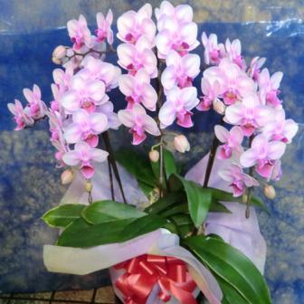 江東区に贈る花 ミニ胡蝶蘭ランラン ピンク